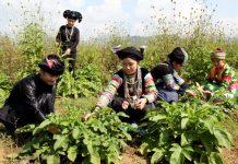 Hợp tác xã trồng dược liệu